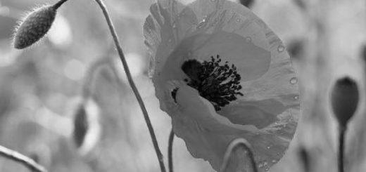 цветок мак