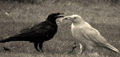 черная и белая вороны